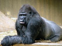 Gorilla. Dreaming Royalty Free Stock Image