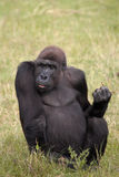 Gorilla Fotografie Stock Libere da Diritti