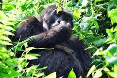 Gorilla Lizenzfreies Stockbild