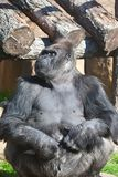 Gorilla royaltyfri bild
