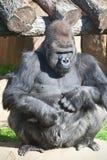 Gorilla royaltyfria bilder