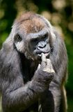 Gorilla. Close-up picture of thinking gorilla Royalty Free Stock Image