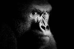 Free Gorilla Stock Photography - 37771872