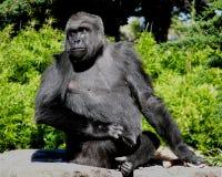 Gorilla Royalty-vrije Stock Foto's