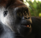 Gorilla. The grorilla is looking something royalty free stock photography