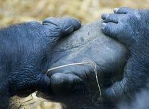 Gorilla 4 royalty-vrije stock foto's