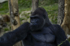 gorilla Lizenzfreies Stockfoto