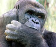 Gorilla. Deep in thought at Chester Zoo Stock Image