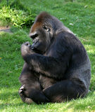 Gorilla. A gorilla in a zoo royalty free stock images