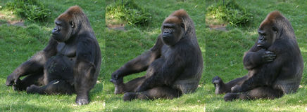 Gorilla. Sitting on grass stock photography