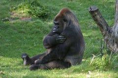 Gorilla. Sitting on grass Stock Image