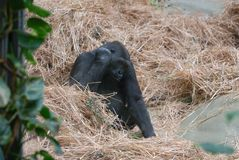 gorilla Stockfotos