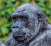 Gorilla Stock Foto's