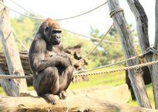 gorilla Stockfoto