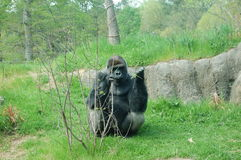gorilla Fotografia Stock Libera da Diritti