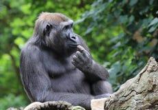 gorilla Immagine Stock Libera da Diritti