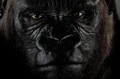 Gorilla Stock Photography