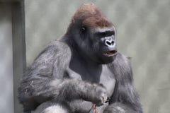 Gorilla Stock Afbeelding