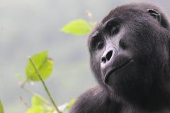 Gorilla 01 Fotografia Stock Libera da Diritti