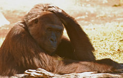 gorilla Imagem de Stock Royalty Free