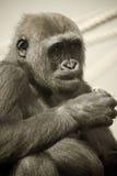 Gorilla. Portrait of a gorilla in captivity stock photos