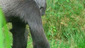 gorilla stock footage