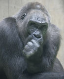 Gorilla 6 Stock Photo
