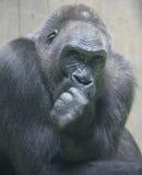 Gorilla 6. Portrait of nice gorilla male Stock Photo