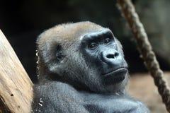 gorilla Lizenzfreie Stockfotografie