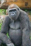 Gorilla. Stock Afbeeldingen