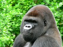 Gorilla. Male silver back gorilla in the jungle royalty free stock photos