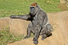 gorilla Fotografering för Bildbyråer