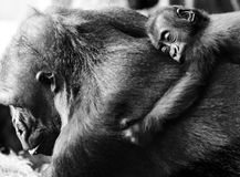 gorilla Foto de Stock Royalty Free