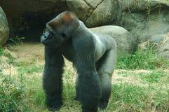 Gorilla Fotografia Stock