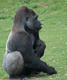 Gorilla 7 Fotografia Stock