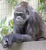Gorilla 7 Fotografie Stock Libere da Diritti