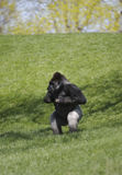 Gorilla. Male Silverback Gorilla Pounding Chest Stock Photography