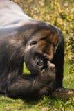 Gorilla. Big male silverback gorilla looking and thinking Stock Image