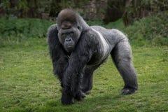 Free Gorilla Stock Image - 72002741
