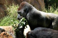 gorilla Arkivfoto