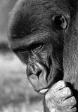Gorilla. A gorilla, a great primate Royalty Free Stock Photography