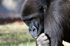 Gorilla. A gorilla, a great primate Stock Photo