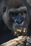 Gorilla. A gorilla in a zoo chews on a piece of wood stock photos