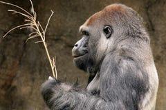 gorilla Imagem de Stock