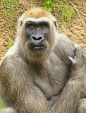 gorilla Imagens de Stock Royalty Free