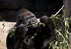 Gorilla Royalty-vrije Stock Fotografie