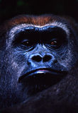 Gorilla. Portrait Royalty Free Stock Images