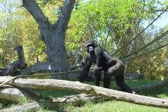 gorilla Fotos de Stock