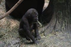 Gorilla Stock Foto