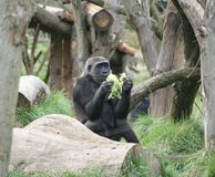 Gorilla. A gorilla sitting in the wood eating Royalty Free Stock Images